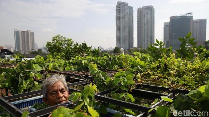 Konsep urban farming saat ini memang menjadi tren berkebun di lahan sempit perkotaan. Salah satunya, Abdul Rahman yang merawat tanamannya di atas rumah.