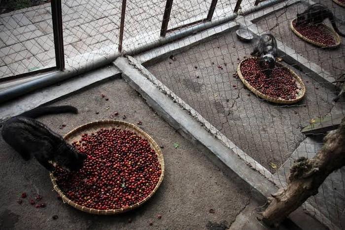 Kopi luwak berasal dari sisa kotoran hewan musang luwak yang memakan biji kopi. Karena hewan luwak memiliki sistem pencernaan yang sederhana, biji-biji kopi ini akan keluar lagi bersama sisa kotoran dari hewan tersebut. Foto: Istimewa