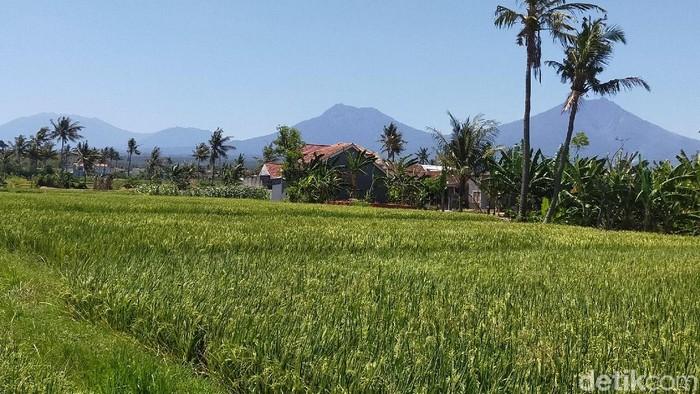 Persawahan di Banyuwangi (Foto: Ardian Fanani-detikcom)