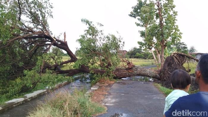 Pohon trembesi tumbang dan menutup jalan di Desa Kranggan, Polanharjo, Klaten, Sabtu (16/11/2019). Foto: Achmad Syauqi/detikcom