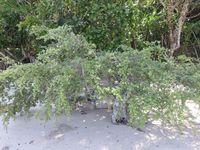 Mangrove Santigi