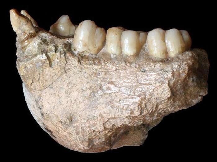 Fosil gigi dari Gigantopithecus blacki yang disebut nenek moyang manusia. Foto: Mirror