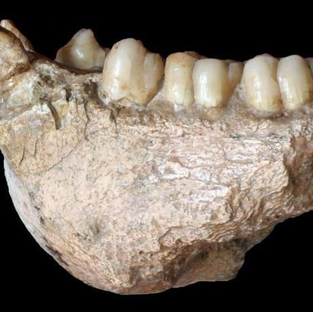 Fosil Kera Raksasa Ditemukan, Tingginya Dua Kali Manusia