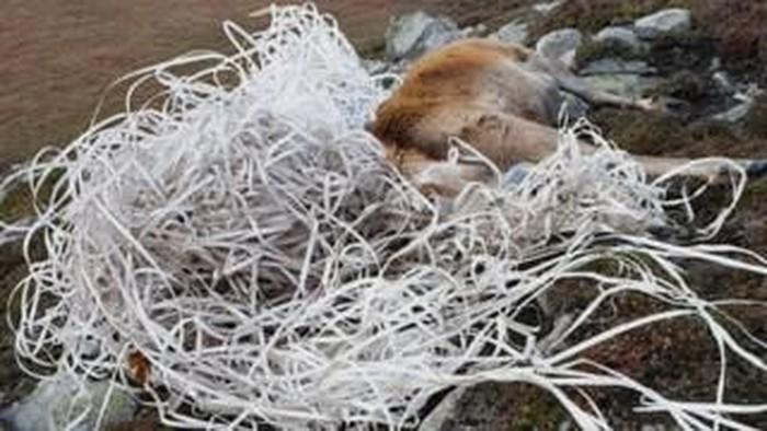 Rusa terjerat plastik. Foto: BBC