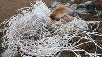 Kasihan, Rusa Tewas Terjerat Sampah Plastik