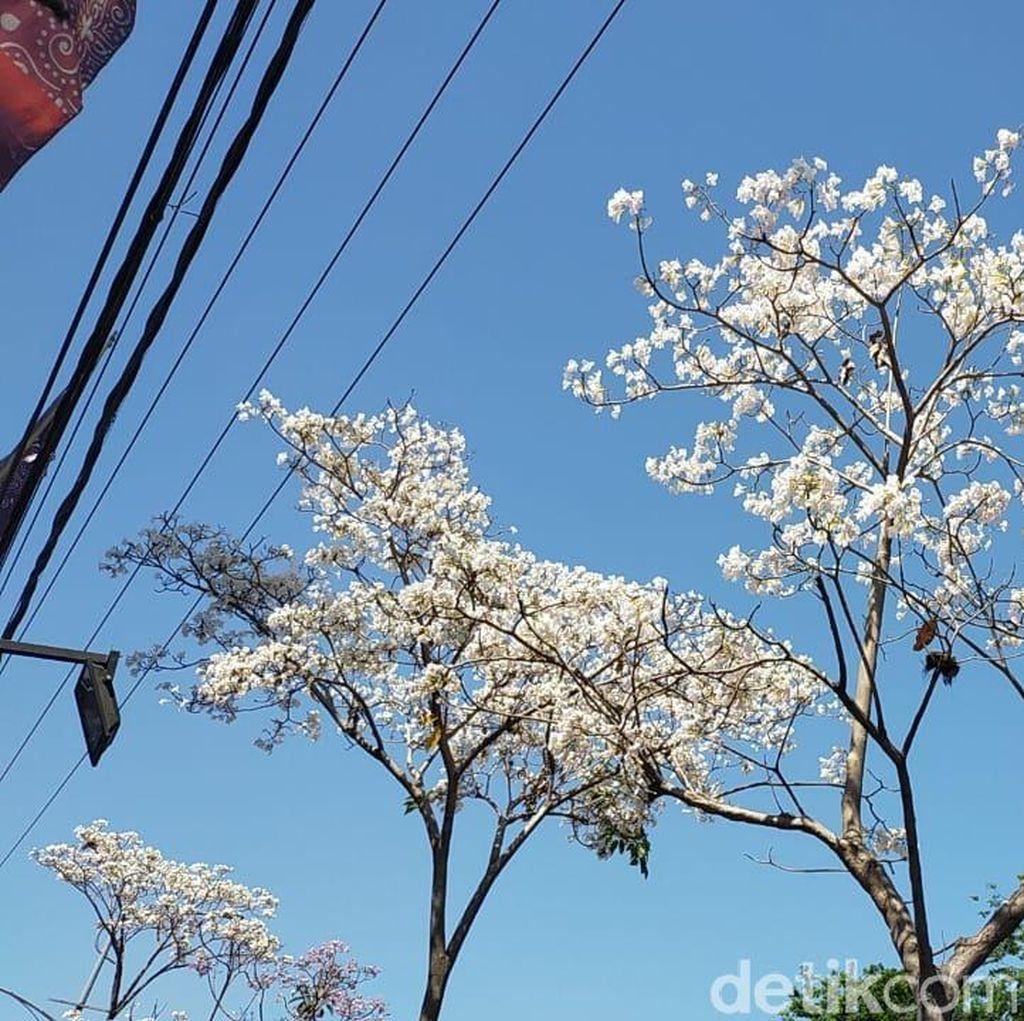 Indahnya Jalanan Kota Surabaya saat Bunga Tabebuya Bermekaran