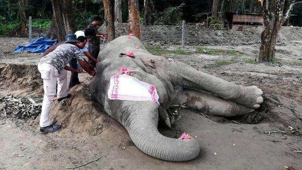 Bangkai gajah 'Laden' saat diukur usai mati pada Minggu (17/11) waktu setempat