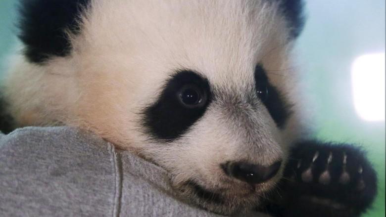 Foto: Bei Bei, si panda raksasa (Gary Cameron/Reuters)