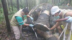 Miris! Gajah Liar Ditemukan Mati di Riau