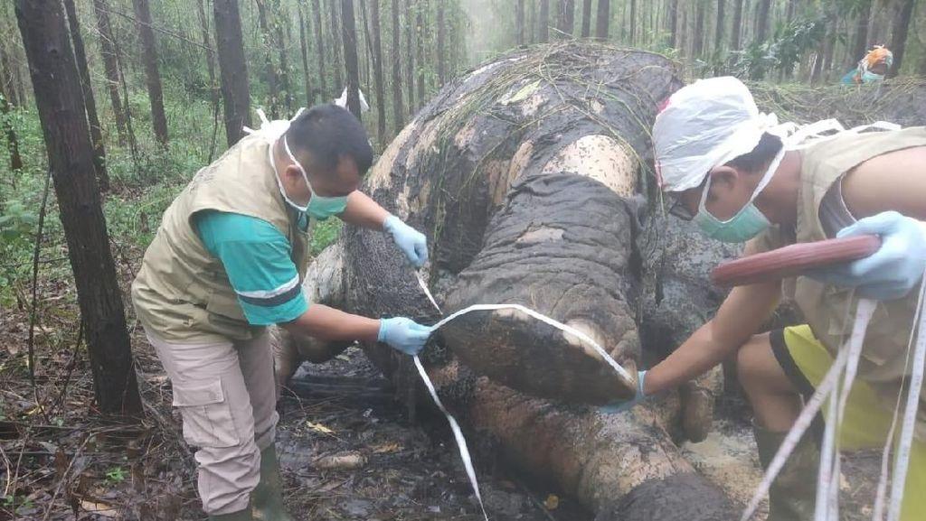 Gajah Mati di Riau Diduga Korban Perburuan Liar