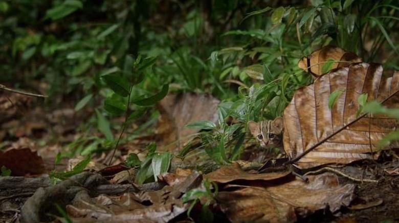 Inilah kucing terkecil di dunia (BBC One)