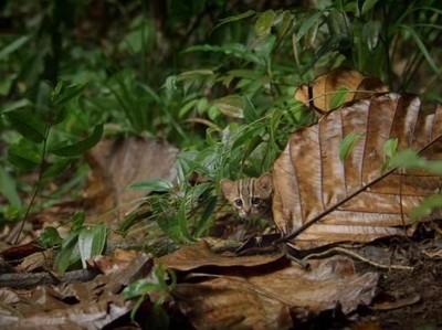 Lihat Deh, Ini Kucing Terkecil di Dunia