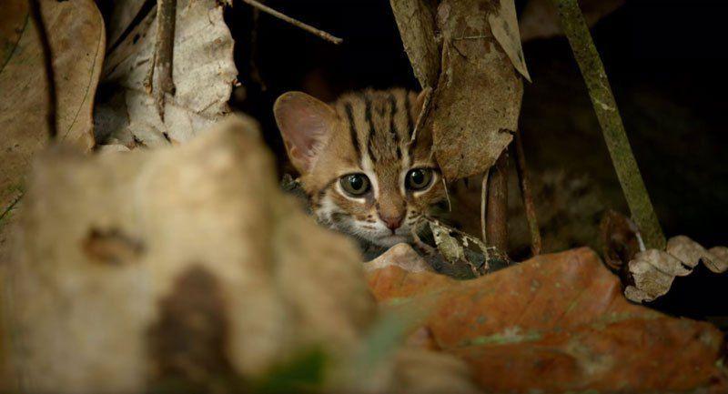 Disebut kucing bertotol, inilah kucing terkecil di dunia yang habitatnya hanya ada di India dan Sri Lanka (BBC One)