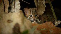 Gemas Banget: Penampakan Kucing Terkecil di Dunia