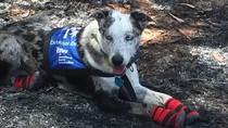 Perkenalkan Bear, Anjing Pintar yang Bantu Penyelamatan Koala