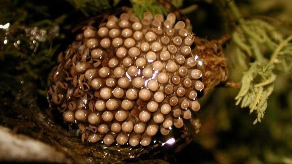 Potret Serangga Air Raksasa yang Disebut Dalam Hoax Bikin Kulit Bolong