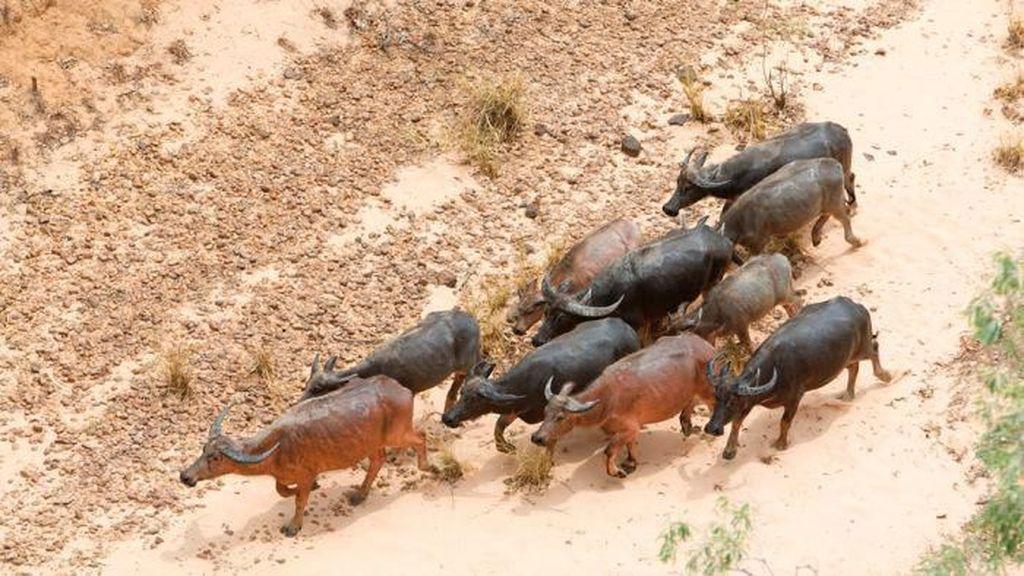 27 Ribu Ekor Pertahun, Kerbau Liar Dianggap Hama di Australia Utara