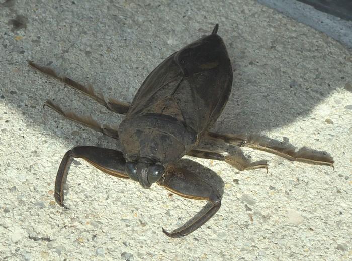 Serangga ini tinggal di kolam-kolam dan sungai air tawar. Makanannya mulai dari ikan, amfibi, hingga udang-udangan. (Foto: xpda/Wikimedia Commons)