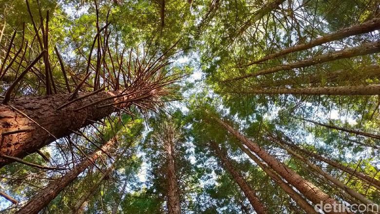 Foto: Redwood Forest (Edwidhian Tri/detikcom)