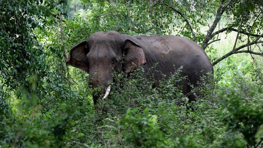 3 Gajah Jinak Dikerahkan Halau 40 Gajah Liar di Pidie