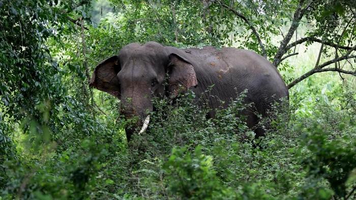 Gajah jinak Conservation Response Unit (CRU) Alue Kuyun bernama Winggo yang beraktivitas di Pusat Latihan Gajah (PLG) Saree, Aceh besar, Aceh, Jumat (22/11/2019). Gajah jinak bernama Winggo mengalami luka akibat diserang kawanan gajah liar di kawasan hutan Aceh Barat yang kini harus mendapat perawatan dari tim medis BLSDA Aceh. ANTARA FOTO/Irwansyah Putra/aww.