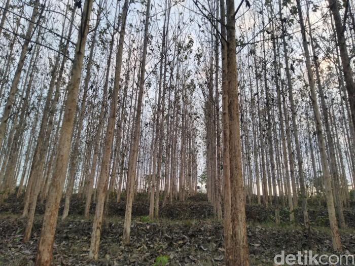 Kebun Pohon Jati Ciawitali di Dusun Kersikan, Desa Handapherang, Kecamatan Cijeungjing, Kabupaten Ciamis, Jawa Barat