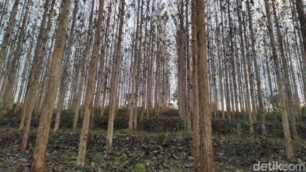 Serba-serbi Pohon Jati: Sifat Ekologis, Sebaran, dan Manfaat