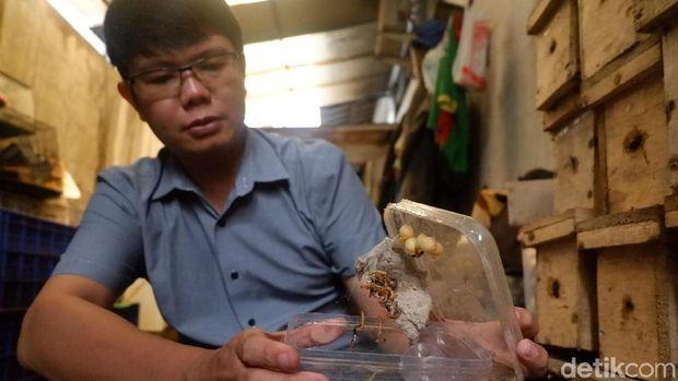 Ngeri, Pemuda Banjarnegara Ini Pelihara Ribuan Laba-laba Mematikan