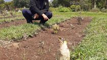 Dua Bunga Bangkai Tumbuh di Lembang, Buat Geger Warganet