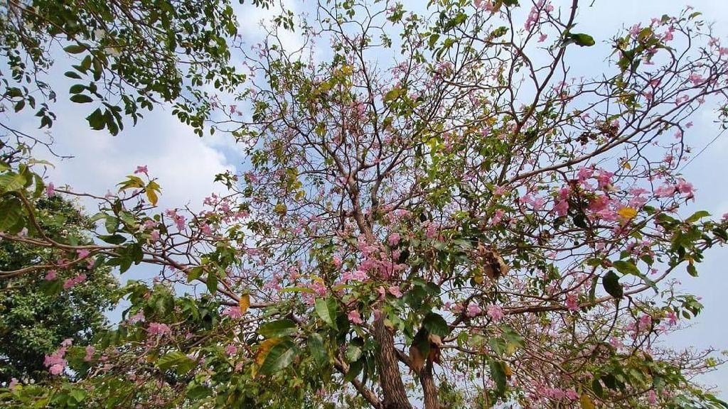 Viral Bunga Cantik Mirip Sakura Berguguran Bikin Heboh Warga Bekasi