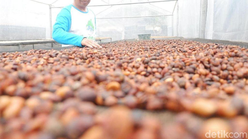 Kopi Senggani Beraroma Unik yang Sedang Populer di Pasaran