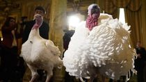 Potret Dua Kalkun Thanksgiving yang Akan Diampuni Presiden Trump
