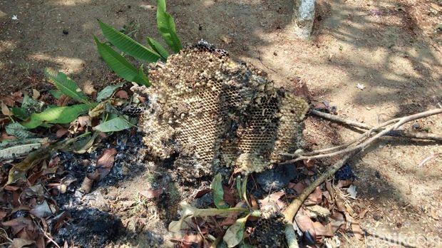 Bekas sarang tawon yang telah dibakar oleh petugas Damkar Pemalang.