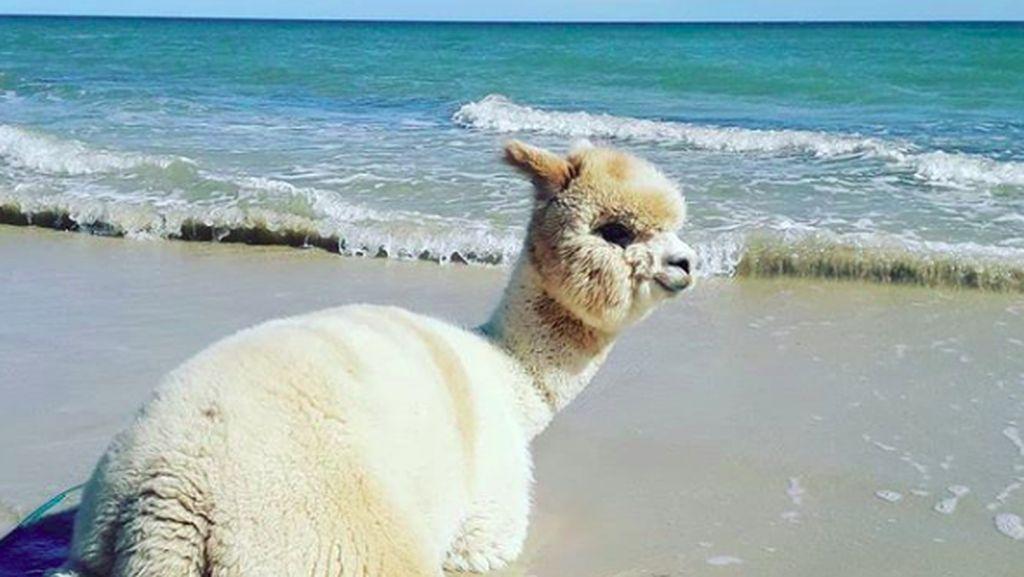Alfie, Si Alpaka yang Suka Pantai