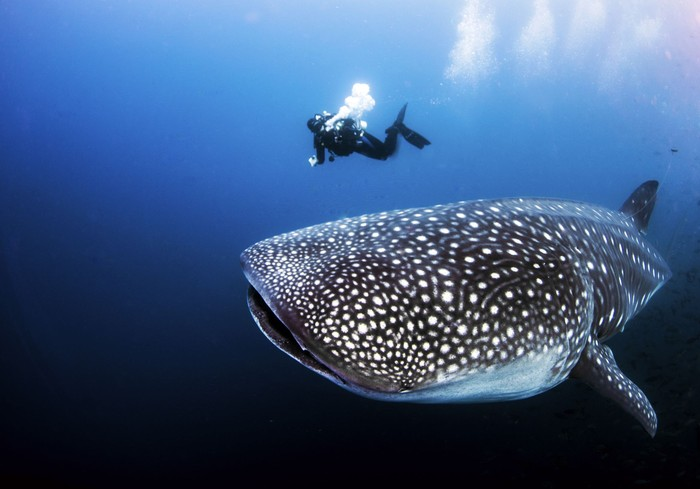 A divemaster can be used as scale to see the size of a pregnant female adult whale shark underwater