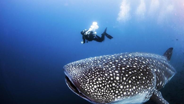Ilustrasi hiu paus (iStock)