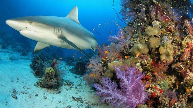 Grey reef shark at home reef