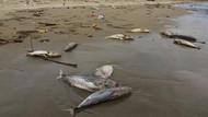 Penampakan Ratusan Bangkai Ikan Berserakan di Pantai Aceh Barat