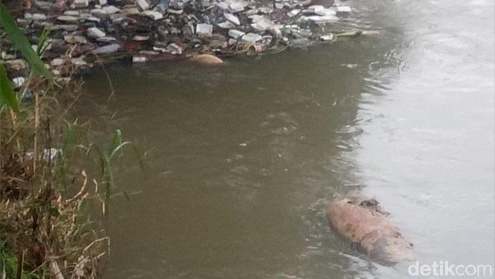 Foto: Bangkai babi di Sungai Amplas Medan (Budi-detikcom)