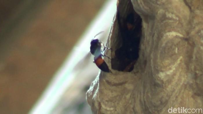 Tawon ndhas atau tawon vespa (Foto: Imam Suripto/detikcom)