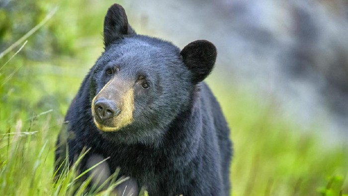 Black Bear in Jasper National Park, Canada