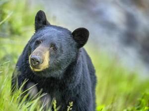 Viral, Momen Tegang Wanita Didekati Beruang Malah Lakukan Hal Tak Terduga