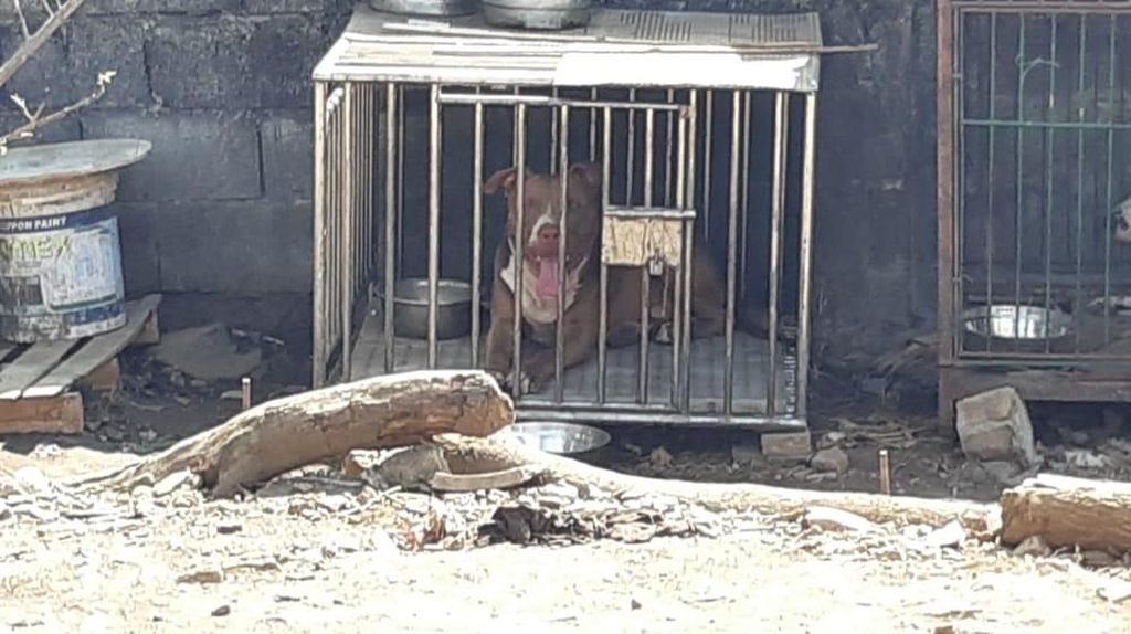 Warga Tidung Makassar Tolak Anjing Pitbull Serang Wanita Kembali Dipelihara