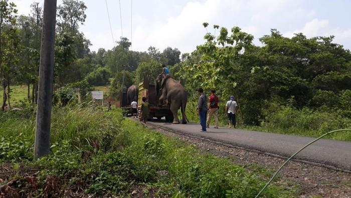 Gajah dikembalikan ke hutan. (Foto: Istimewa)