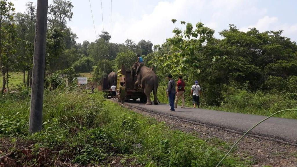 BKSDA Sumsel Kembalikan Gajah yang Dievakuasi Gegara Konflik Lahan ke Hutan
