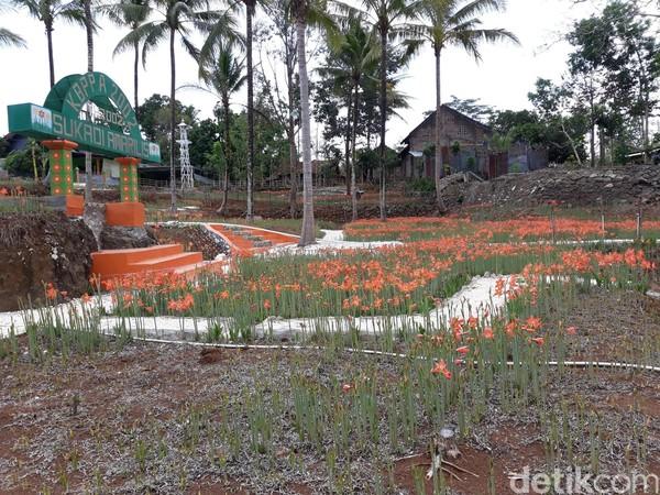 Pantauan detikcom di kebun bunga Amarilis Sukadi, tampak belum banyak bunga yang bermekaran. Tampak pula beberapa bunga yang sudah mekar namun layu karena kekurangan asupan air (Foto: Pradito Rida Pertana/detikcom)