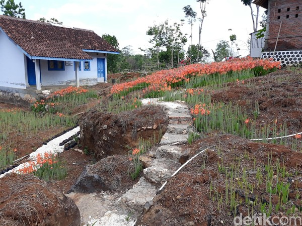 Kebun Bunga Amarilis milik Sukadi yang biasanya ramai dikunjungi saat akhir bulan November tiba-tiba sangat sepi pengunjung (Foto: Pradito Rida Pertana/detikcom)