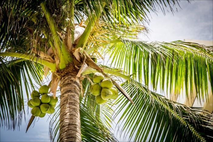 Produksi kelapa yang melimpah perlu diberi nilai tambah