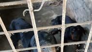 Pria yang Tewas Diserang Rottweiler di Sergai Sumut Diduga Mau Curi Pisang