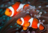 Duh, Ikan Kawan-kawan Nemo Terancam Punah